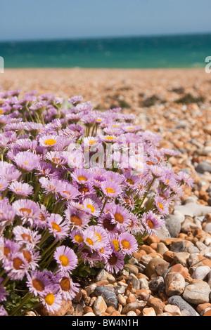 Playa Aster (Erigeron glaucus o brisa del mar) floración en Shoreham Inglaterra