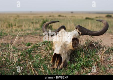 Los ñus cráneo acostado en el Masai Mara, Kenya.