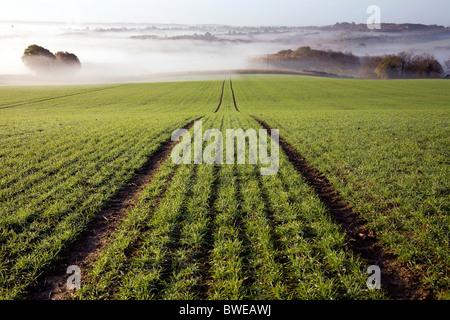 Misty mañana vista de Chorlitejo campiña recientemente plantados con campo de trigo de invierno en otoño valle Kent UK