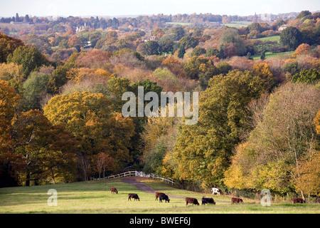 Vista de colores de otoño rojo dorado el follaje de los árboles en los bosques y valles con campo de ganado en el campo cerca de Chorlitejo Benenden UK
