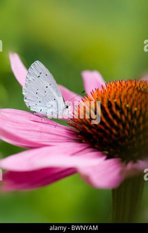 Un único y común mariposa azul - Polyommatus icarus en una flor cónica púrpura - Echinacea purpurea