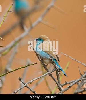Azul Uraeginthus Waxbill angolensis Parque Nacional Kruger Sudáfrica
