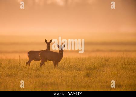 Los corzos en campo, Alemania