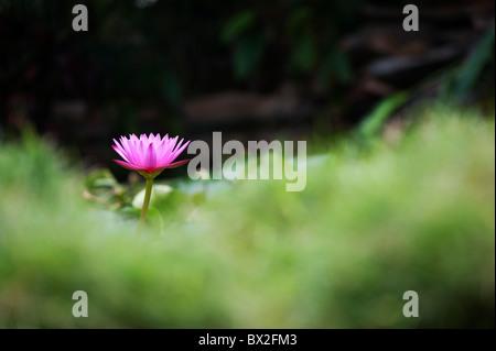 Nymphaea. Waterlily flor tropical en un estanque en la India. Profundidad de campo