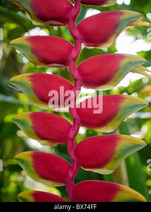 Closeup exótica Heliconia rostrata Ruiz et Pavon colgando langosta garras ave del paraíso Foto de stock