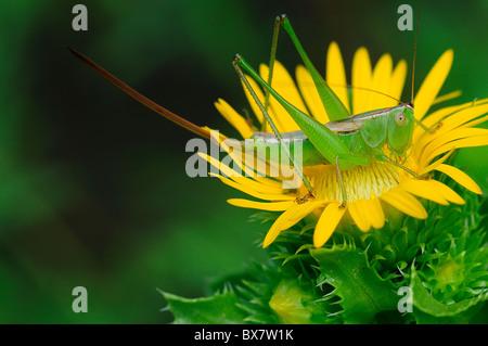Saw-Leaf Daisy y saltamontes americanos