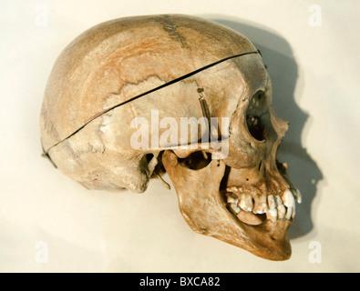 Cráneo humano Homo sapiens sapiens en el perfil