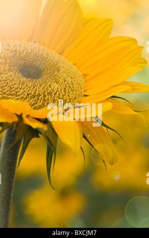 - Girasol Helianthus annuus con Lens Flare - Sun Flare Foto de stock