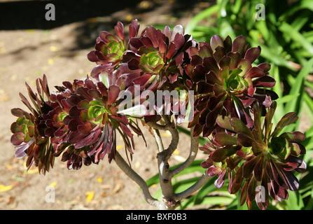 Crest púrpura o negro Aeonium Aeonium, Árbol Aeonium arboreum var atropurpureum, Marruecos, Norte de África