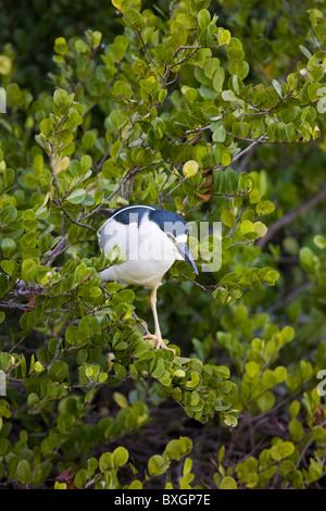 Se coronó la noche negra, garzas, Nycticorax nycticorax, en las ramas de los árboles en Everglades de Florida, EE.UU.