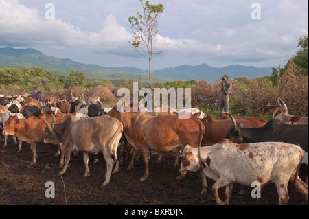 Surma herder con ganado cerca de Tulgit, Valle del río Omo, Etiopía África