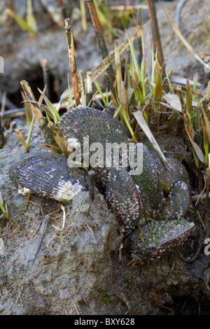 Geukensia demissa estriada (mejillones) con jóvenes y maduros percebes (Semibalanus balanoides) en una marisma.