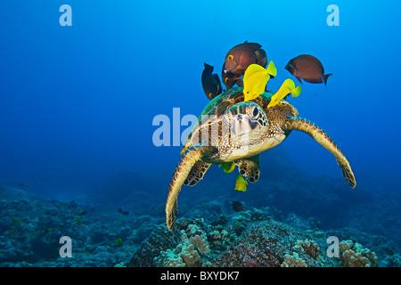 Tortuga de Mar Verde limpiados por las lengüetas, Chelonia mydas, Big Island, Hawaii, EE.UU.