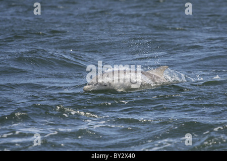 Ternero delfín mular (Tursiops truncatus) , Moray Firth (Escocia, Reino Unido) Foto de stock