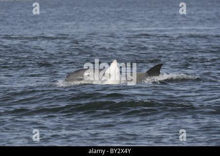 Joven ternero delfín mular (Tursiops truncatus) jugando con su madre, Moray Firth (Escocia, Reino Unido) Foto de stock