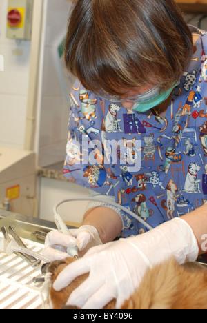 Ais del veterinario limpia la boca y los dientes de perro