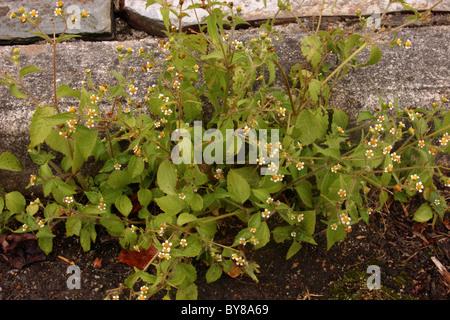 Shaggy soldado (Galinsoga quadriradiata : Asteraceae) en una acera, Reino Unido.
