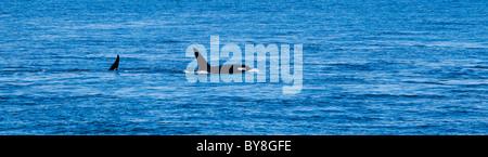 Dos ballenas asesinas superficie off Lime Kiln Point en la Isla San Juan, Washington, EE.UU.