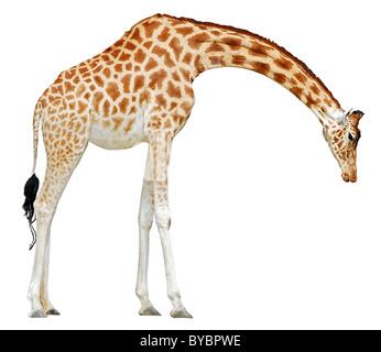 Jirafa (Giraffa camelopardalis) vio de cabeza de perfil al suelo aislado sobre fondo blanco.