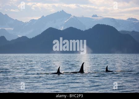 Orca, fiordos de Kenai National Park, cerca de Seward, Alaska.