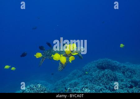 Tortuga verde ( Chelonia mydas ) siendo limpiados por espigas y amarillo oro-ring Pez Cirujano, Hawai