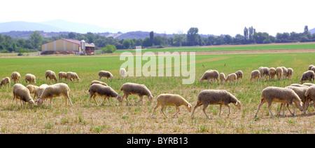 Rebaño de ovejas pastando prado en el campo de hierba vistas panorámicas