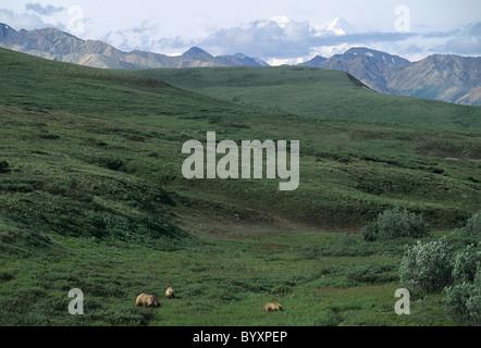 Siembre y Cubs, Grizzly Bear, el Parque Nacional Denali, Alaska, oso pardo, osos, osos pardos, osos pardos