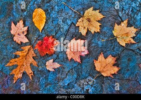 Gota de lluvia caída cubierto de hojas en una pizarra Rock Creek Bed, Blue Hen Falls, Ohio Foto de stock