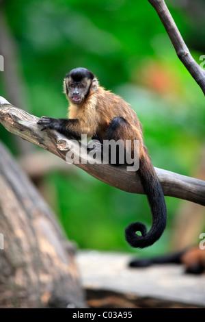 Llorona capuchino (Cebus olivaceus), adulto en un árbol, Sudamérica