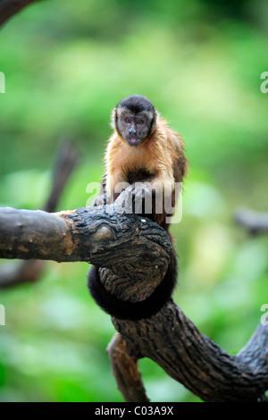 Llorona capuchino (Cebus olivaceus), adultos comiendo en un árbol, Sudamérica