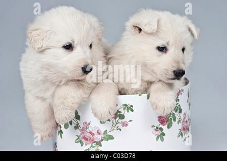 Dos Pastor Blanco Suizo o BERGER BLANC SUISSE cachorros en una caja