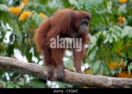Orangután de Borneo (Pongo pygmaeus), hembra adulta con jóvenes en un árbol, Asia