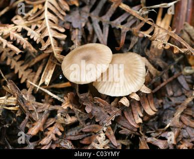 Mealy capot, Mycena cinerella, Mycenaceae. Creciendo en el viejo Bracken. Agosto, Berkhamsted, Hertfordshire.
