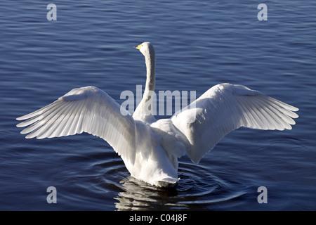 Resultado de imagen para cisne de Lega