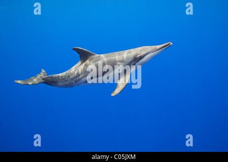 Dientes ásperos, Steno bredanensis delfín, costa de Kona, Big Island, Hawaii, EEUU, Océano Pacífico