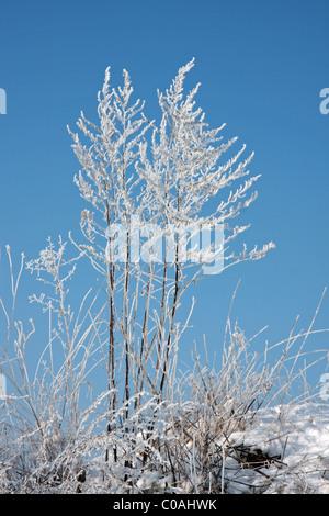Brezo (Calluna) común en invierno