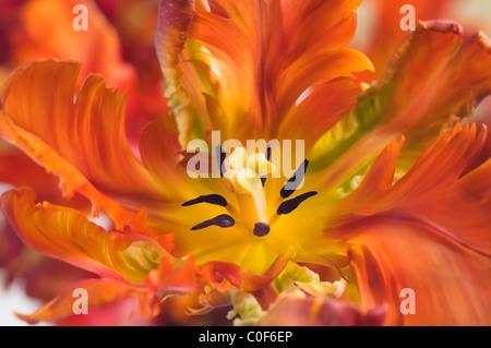 La feathery amarillo y naranja pétalos de Tulipa 'Apricot parrot'