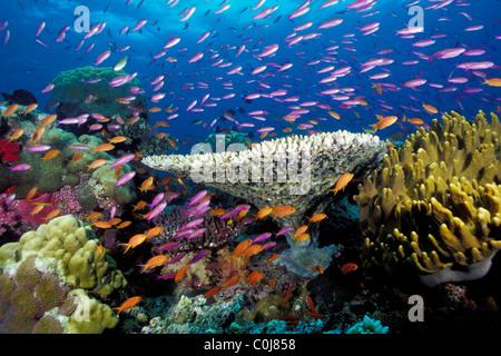 Arrecifes de coral tropicales, Fiji, Océano Pacífico Foto de stock