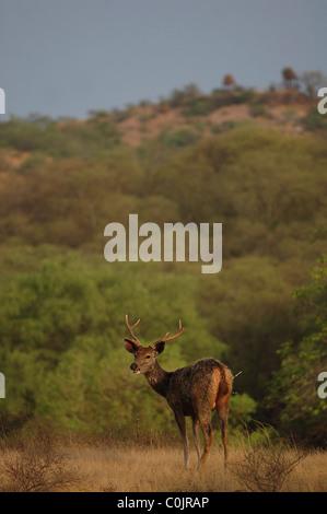 Ciervo ciervo sambar (Cervus unicolor) con un puercoespín quill en sus nalgas delante de una colina en la Reserva de Tigres de Ranthambhore, India