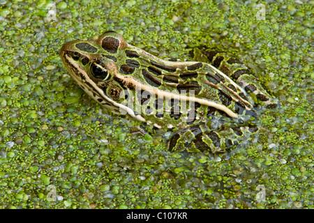 Norte Rana Leopardo Rana pipiens en la lenteja de agua Lemna Este de los EE.UU.