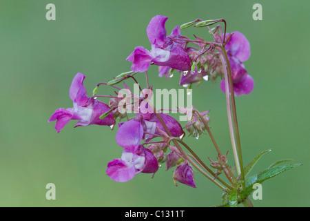 Bálsamo del Himalaya, (Impatiens glandulifera), flores con gotas de agua, Baja Sajonia, Alemania