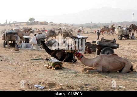 Los camellos, Pushkar Mela, Pushkar, camello y mercado de ganado, Rajasthan, India del Norte, Asia