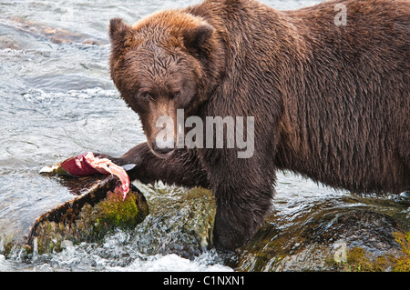 Grizzly Bear, Ursus arctos horriblis, comer salmón, Brooks River, Parque Nacional Katmai, Alaska, EE.UU.