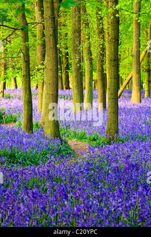 Las campánulas azules(Hyacinthoides non-script) en el árbol de haya (Fagus sylvatica) madera, Hertfordshire, Inglaterra, Reino Unido.