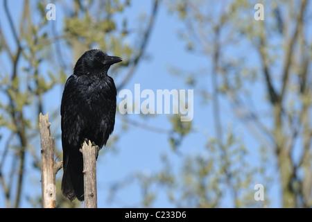 Carrion crow - crow euroasiático (Corvus corone) posado sobre una rama muerta - muelle
