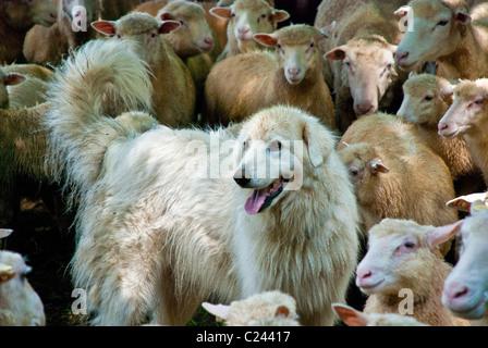 Maremma Ovejero Finn-Dorset pastoreo ovino, Stone Barns Center para la alimentación y la agricultura, Pocantico Hills, Nueva York, EE.UU.