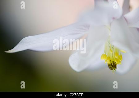 Blanco simple Aquilegia vulgaris flower - columbine Foto de stock