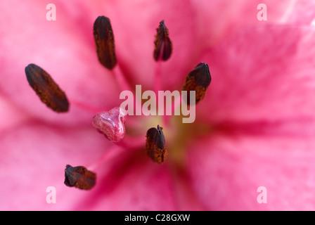 Rosa lily estambre close-up Foto de stock