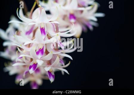 Flores de orquídeas dendrobium Amethystoglossum contra fondo negro. Color Amethest Dendrobium flor.