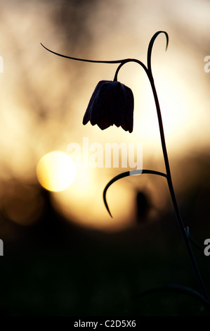 Fritillaria meleagris. Cabeza de serpientes en el wildflower speyeria campiña inglesa al amanecer. Prado del Norte. Cricklade, Wiltshire, Reino Unido. Silueta